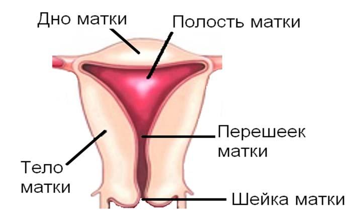 Как выглядит тело матки